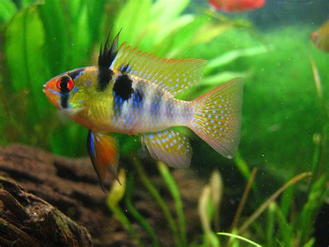 german ram care difference between and german blue rams the planted