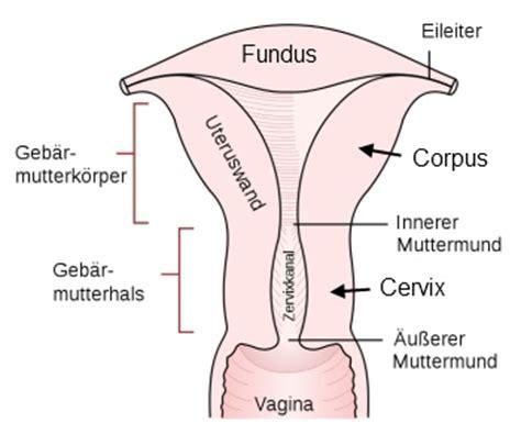 portio uterina geb 228 rmutter uterus med kom