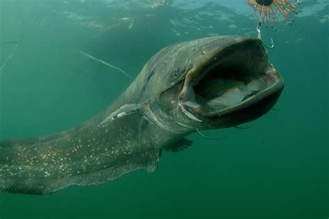How Catfish Finds Wels Catfish Find Local Schools And Teachers On Educatorhub Fishing