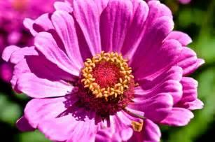 Purple Lotus Farming Purple Lotus Flower Flickr Photo