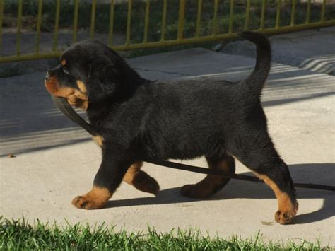 big rottweiler puppies 25 best rottweiler puppies ideas on baby rottweiler rottweilers and