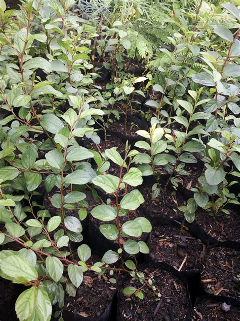 tanaman daun bidara arab anget mas anget mas