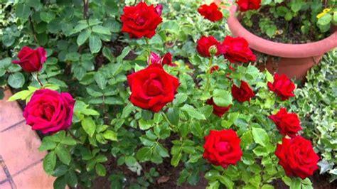 imagenes de jardines y rosas rosas el jard 237 n de vicente granell guerola avi youtube