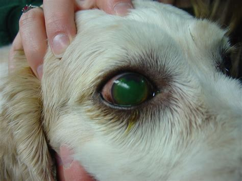 ulcers in dogs corneal ulcers in animals