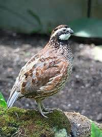 Backyard Quail by City Farming With Backyard Quail An Alternative To Raising Chickens Backdoor Survival