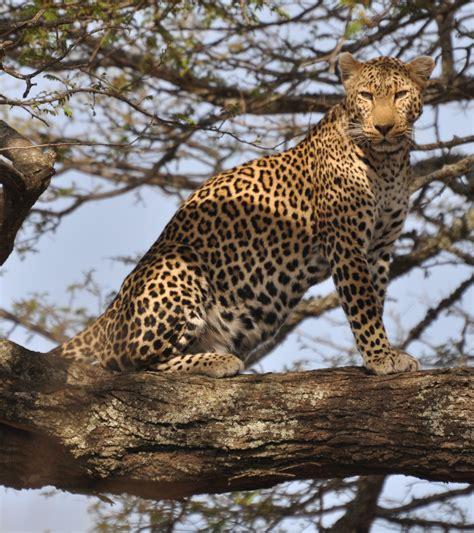 the leopard tom clark lorenzo thomas the leopard