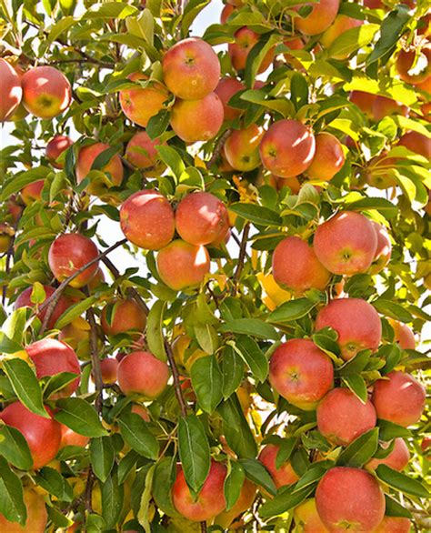 fruit tree care fall season care for fruit trees inexpensive tree care