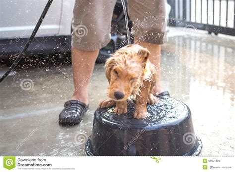 golden retriever puppy bath time golden retriever gets a bath stock photo image 55321123
