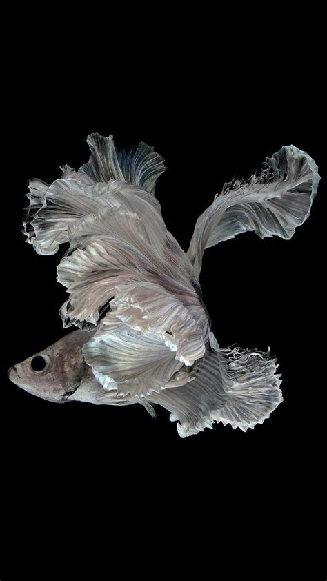 albino betta fish picture       android