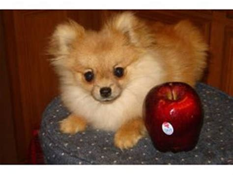 regular sized pomeranian the pomeranian teacup it s all the great qualities of the regular pom breeds picture
