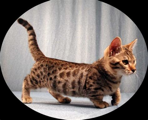 When Do Kittens Start Shedding by Learn About The Genetta Munchkin Cat Www Tinypurr