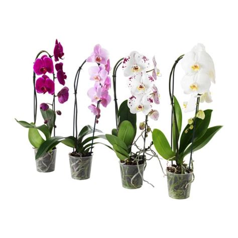 ikea vasi piante phalaenopsis pianta da vaso ikea