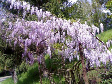 come far fiorire il glicine pergola di glicine