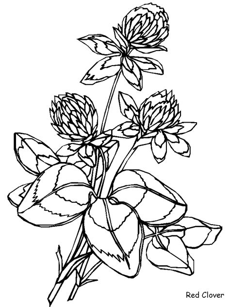 chrysanthemum coloring pages coloring home