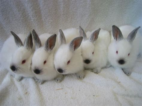 californian rabbit rabbits  sale  york ny