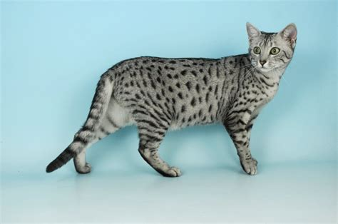 Inidia Cat 25 70 most beautiful mau pictures and photos