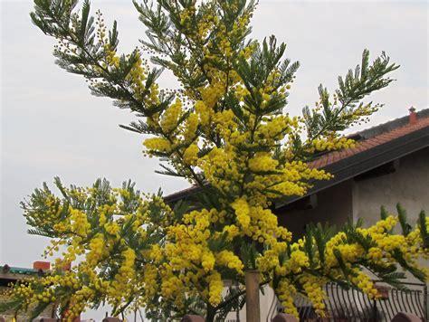 pianta dai fiori gialli come coltivare la mimosa dai fiori gialli acacia dealbata