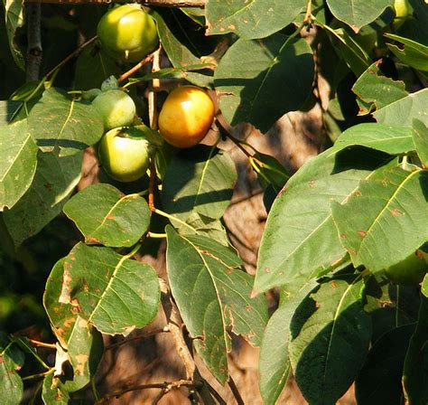 fruit trees in oklahoma common persimmon diospyros virginiana flickr photo