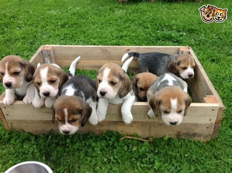 small house dogs for sale 28 images best 25 large beagle puppies for sale preston lancashire pets4homes
