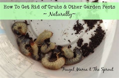 frugal mama the sprout get rid of grubs and other