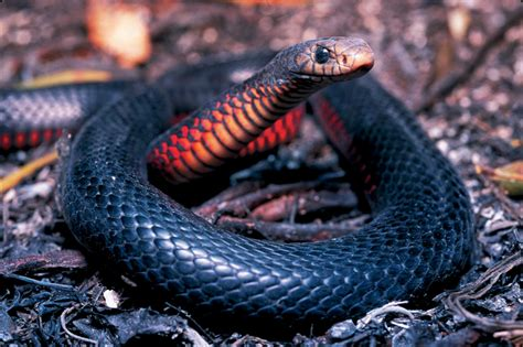 snakes in brisbane backyards amazing wildlife in your backyard and beyond reptile