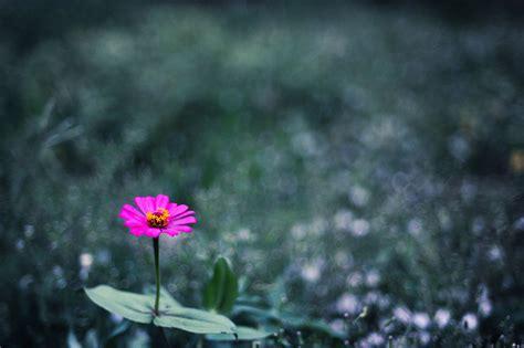 imagenes bellas de lluvia bonita flor silvestre de color rosa en el co despu 233 s de