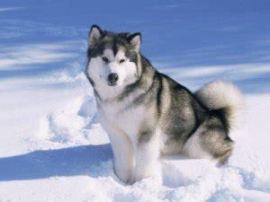 anjing terganas 10 anjing terganas di dunia 107