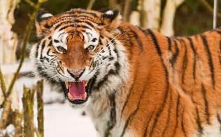 roar animals cats tiger face eyes pov pattern stripes