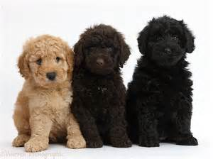 Goldendoodle Puppies Dogs Three Goldendoodle Puppies Photo Wp37990