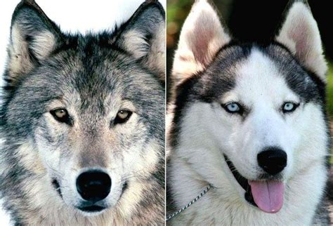 are dogs descended from wolves are dogs really descended from wolves or are both descended from an earlier species