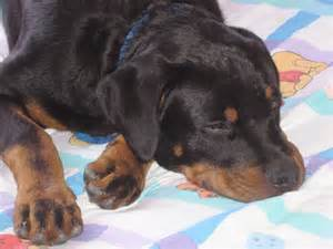 250 lb rottweiler rottweiler breed information puppies pictures