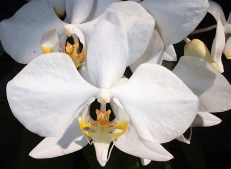 Pot Anggrek Bulan tanaman hias anggrek paling populer di indonesia