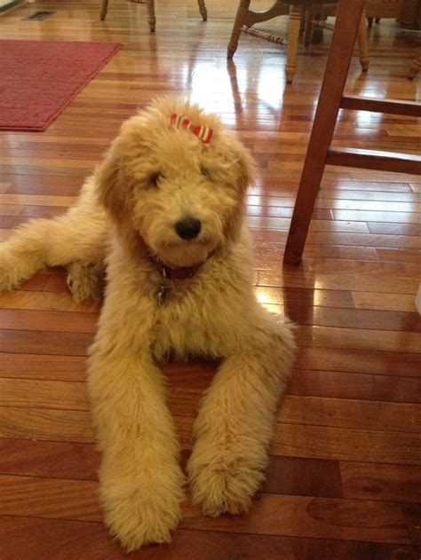 pookie doodle puppy 187 best images about puppy planning on