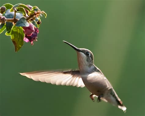 acravan ornicopia 11 are hummingbirds the only birds