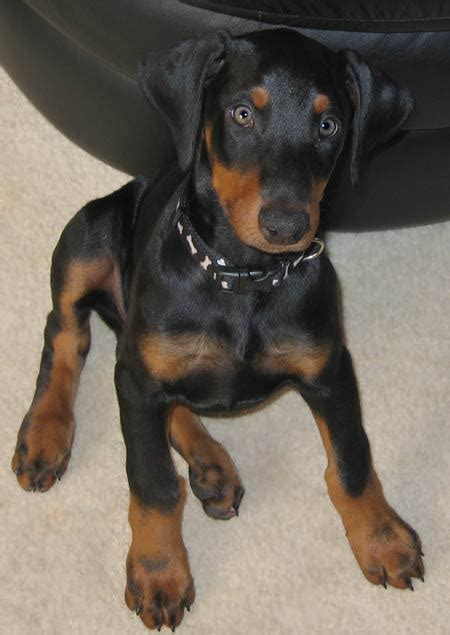 doberman puppy magnum the doberman puppies daily puppy