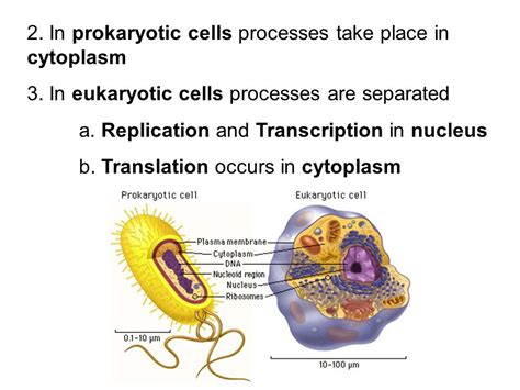 where in a eukaryotic cell does translation occur where in a eukaryotic cell does translation occur 28