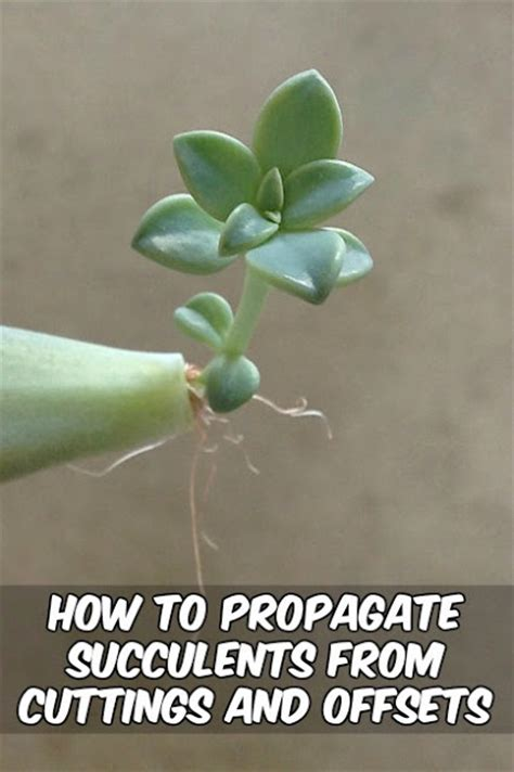 How To Propagate Succulents From Cuttings And Offsets - how to propagate succulents from cuttings and offsets