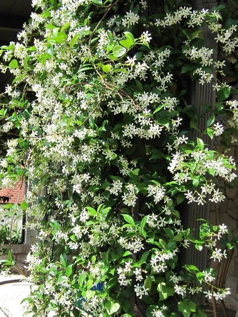 fragrant house photo plant