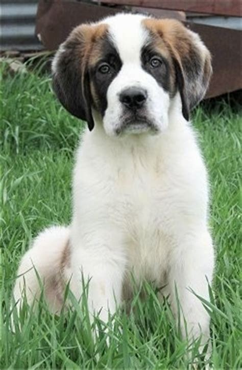 haired st bernard puppies the puppy vs the 8
