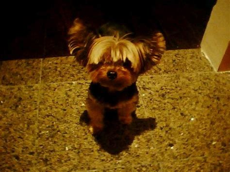 chihuahua with bangs hairstyles 46 best yorkie cuts images on pinterest yorkie yorkie