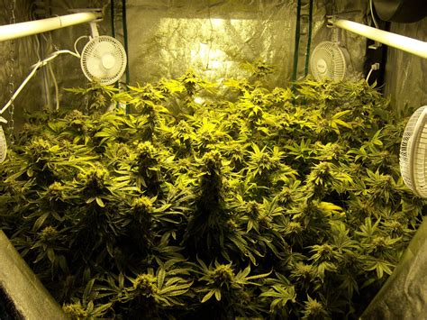 reader growing pics  collection grow weed easy