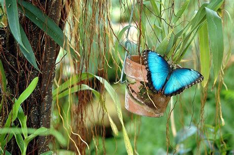 Free photo: Blue Morpho, Butterfly, Wildlife   Free Image