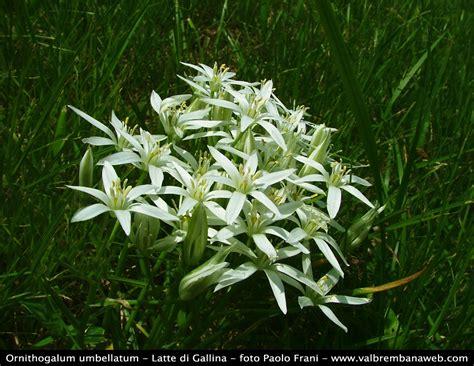 fiori di latte flora alpi orobie