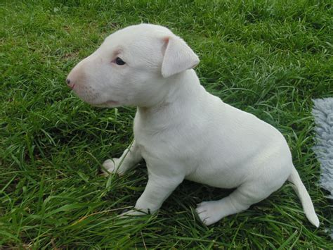 bull puppies for sale bull terrier puppies for sale knighton powys pets4homes