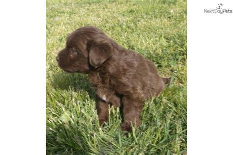 mini aussiedoodle puppies for sale near me aussiedoodle puppy for sale near southeast missouri missouri 776d2165 2af1