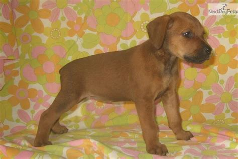 canis panther puppies jezreal canis panther puppy for sale near fresno madera california 68c76dc4