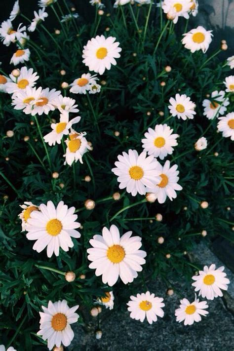 daisy wallpaper pinterest pretty daisy wallpaper wallpapers pinterest daisies