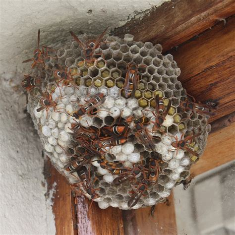 introdction  paper wasp nests  infinite spider