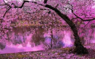 spring blooming trees pink blossoms of cherry river