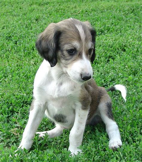 saluki puppies gallery puppies pictures